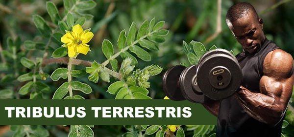 Tribulus Terrestris aumenta a testosterona?