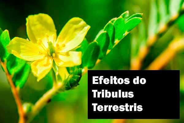 Conheça os efeitos do Tribulus Terrestris