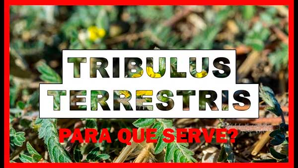 Para que serve o Tribulus Terrestris